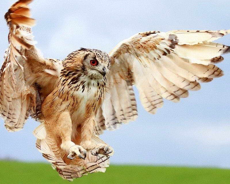 owl with wings spread  08522 OWL WINGS SPREAD POSTER PHOTO PRINT   eBay