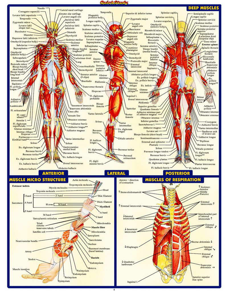 10742 Human Anatomy All System Deep Muscles Map Poster   eBay