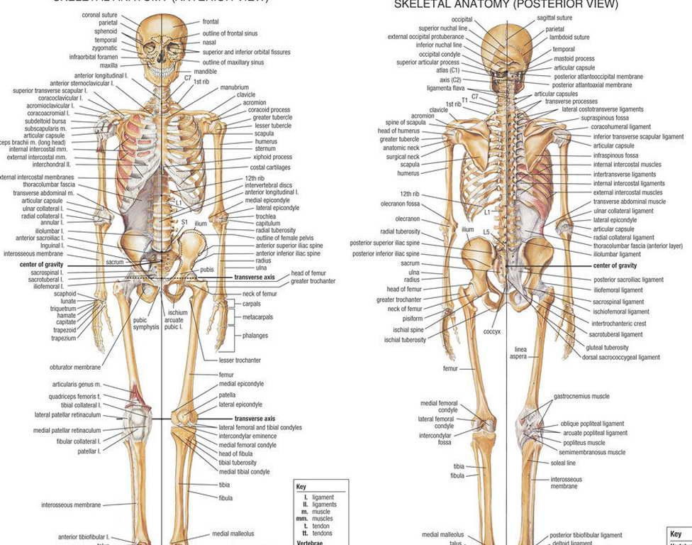 12294 Skeletal System Anatomical Chart Poster Medical Science Uk Ebay