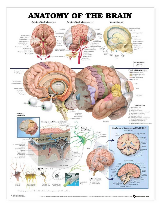 14537 Chart Human Body Anatomy Wall Print POSTER US   eBay