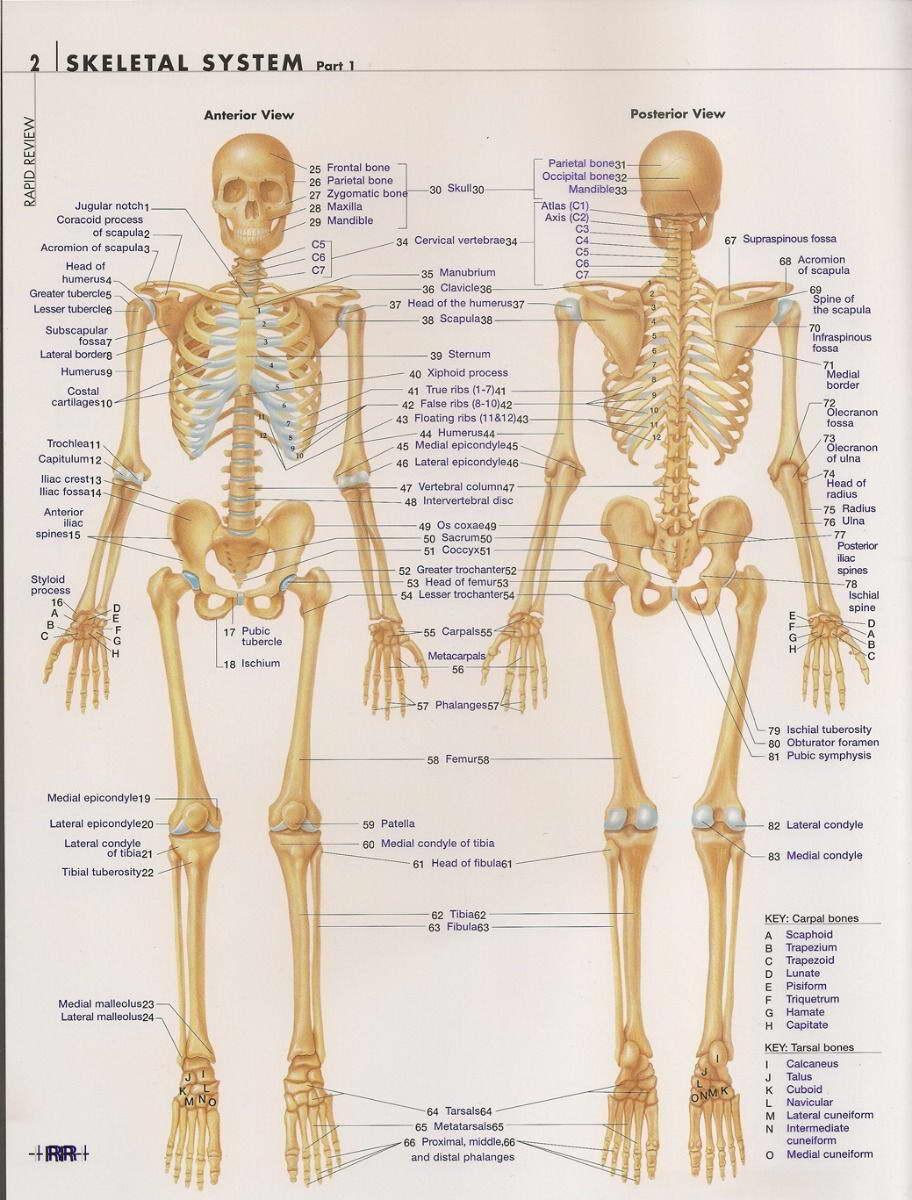 14834 Skeletal System Anatomical Chart Wall Print Poster Us Ebay