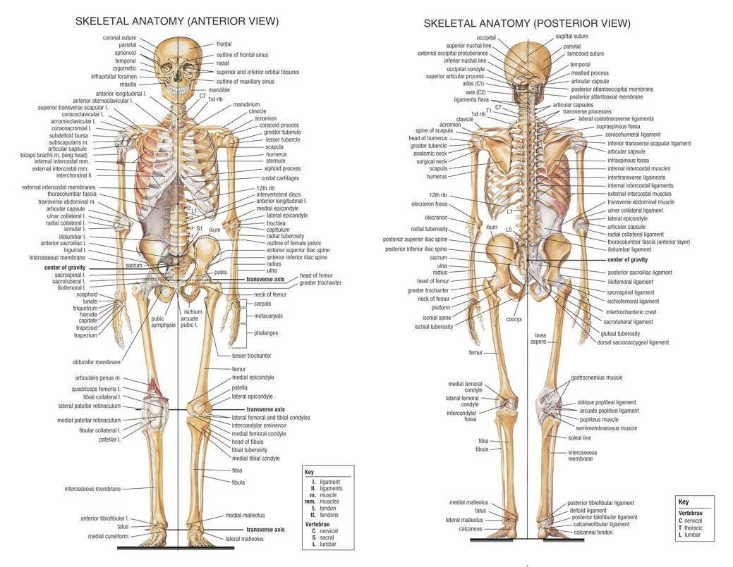 15027 Skeletal System Anatomical Chart Wall Print POSTER UK | eBay