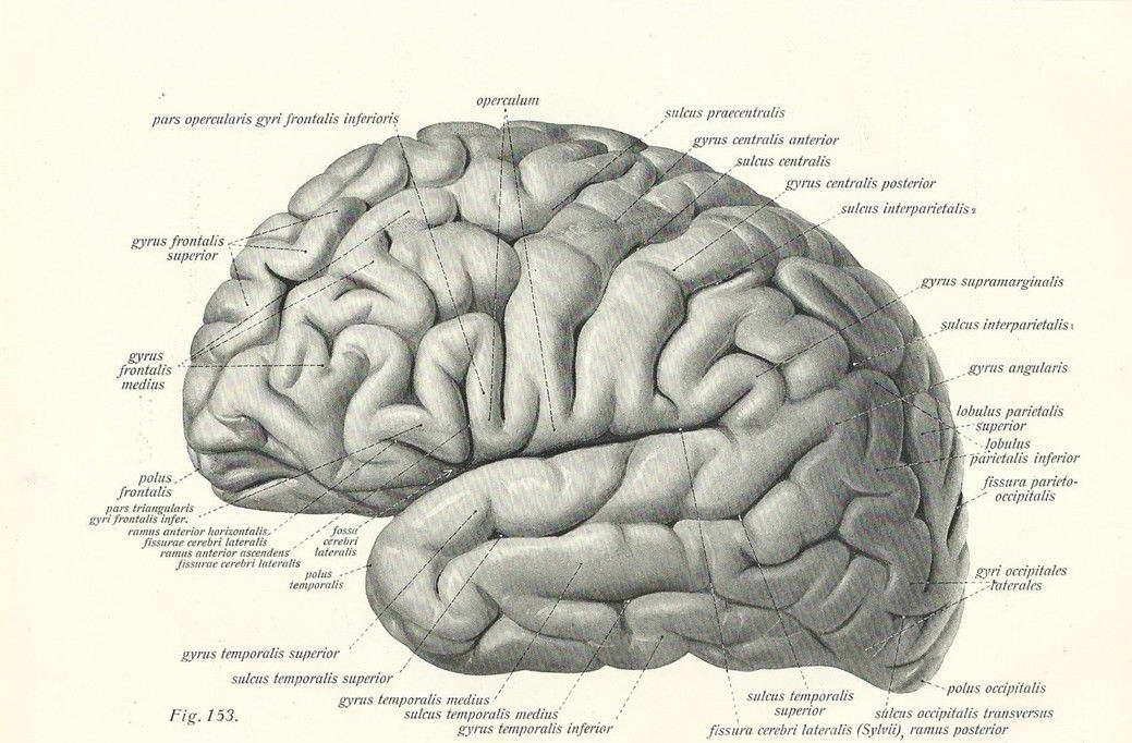 15169 Vintage 1800\'s Human Brain Surgical Anatomy Wall Print POSTER ...