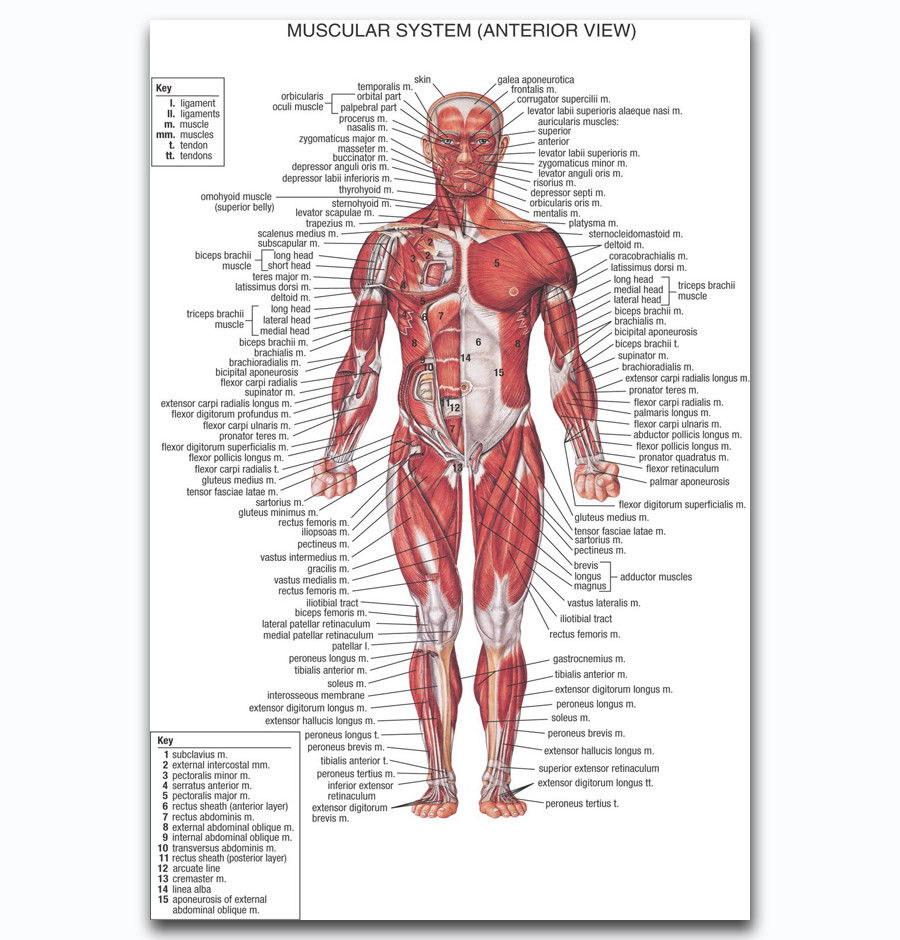 59502 Human Anatomy Body Map Ch Health Wall Print Poster Au Ebay