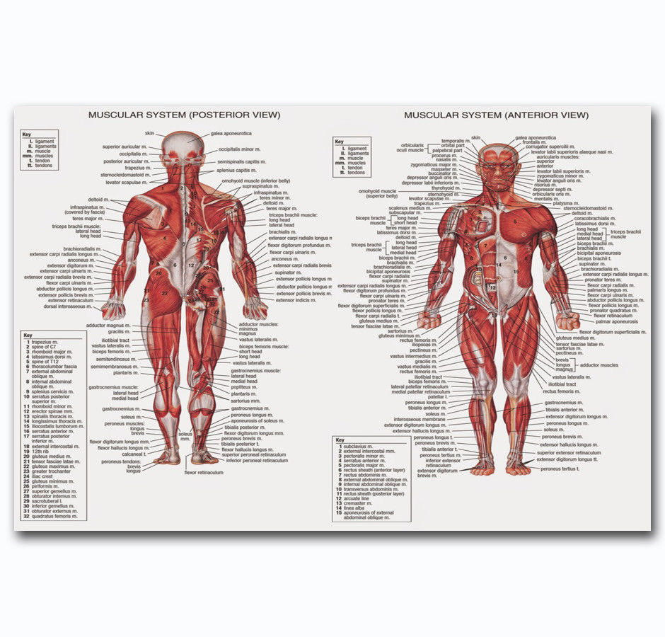 60342 Male Muscular System ANATOMICAL Ch Human Body Me Wall Print ...