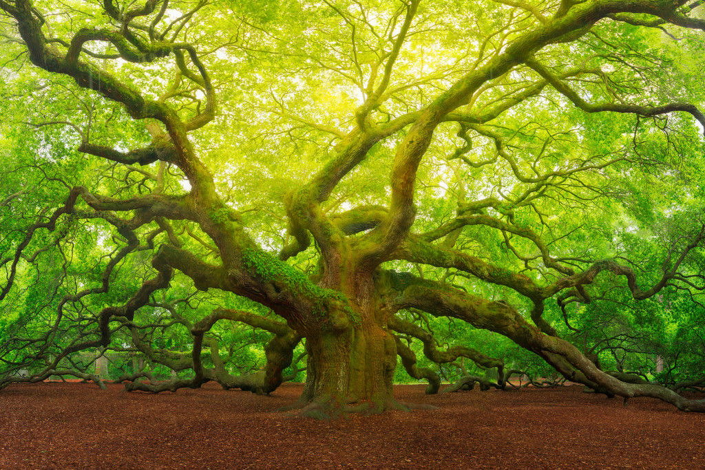 100938 Angel Oak Tree Canopy Charleston South Carolina WALL PRINT POSTER FR
