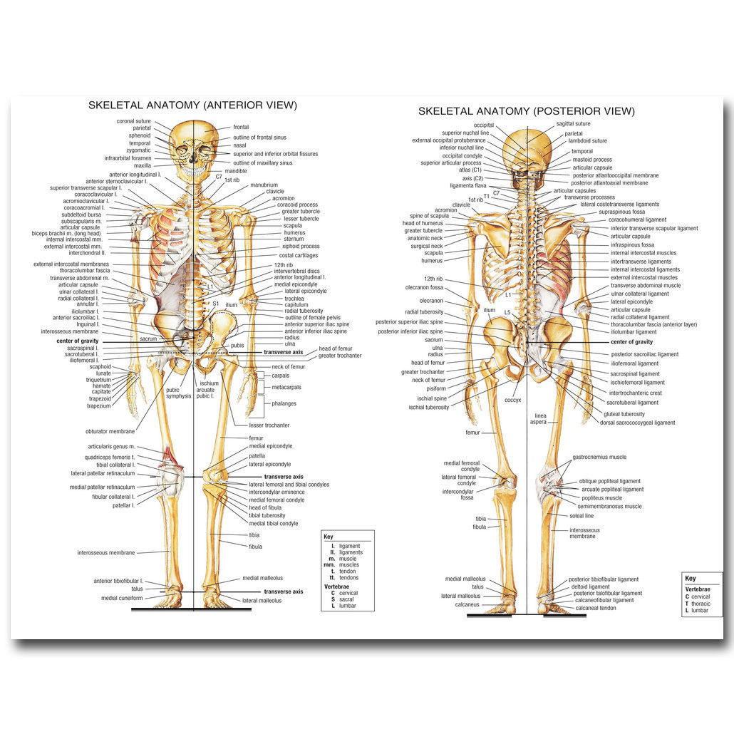 140974 Human Anatomy Skeletal System Medical Education Wall Print ...