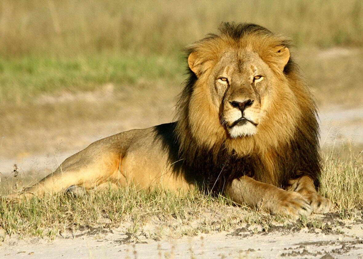 00214 Remembering Cecil The Lion Image Poster Print