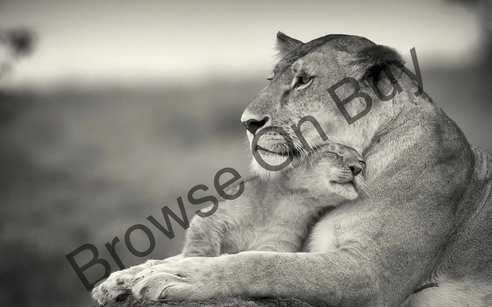 00433 LIONESS AND BABY CUB IMAGE Wall Print POSTER AU