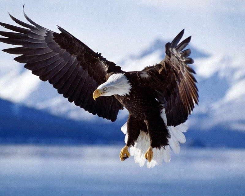 Bald Eagle Identification