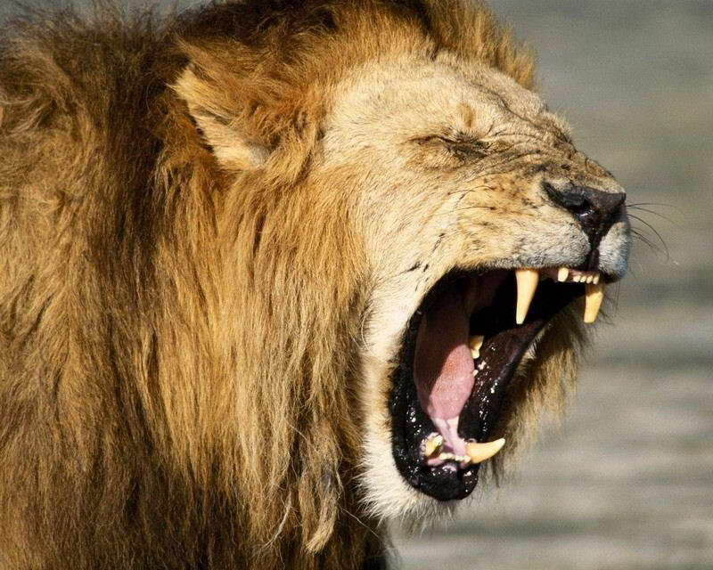 08838 LIONS PHOTO Wall Print POSTER CA