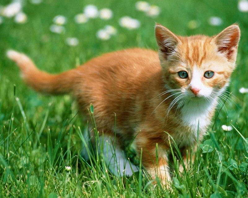 08945 KITTEN IN GRASS PHOTO Wall Print POSTER CA