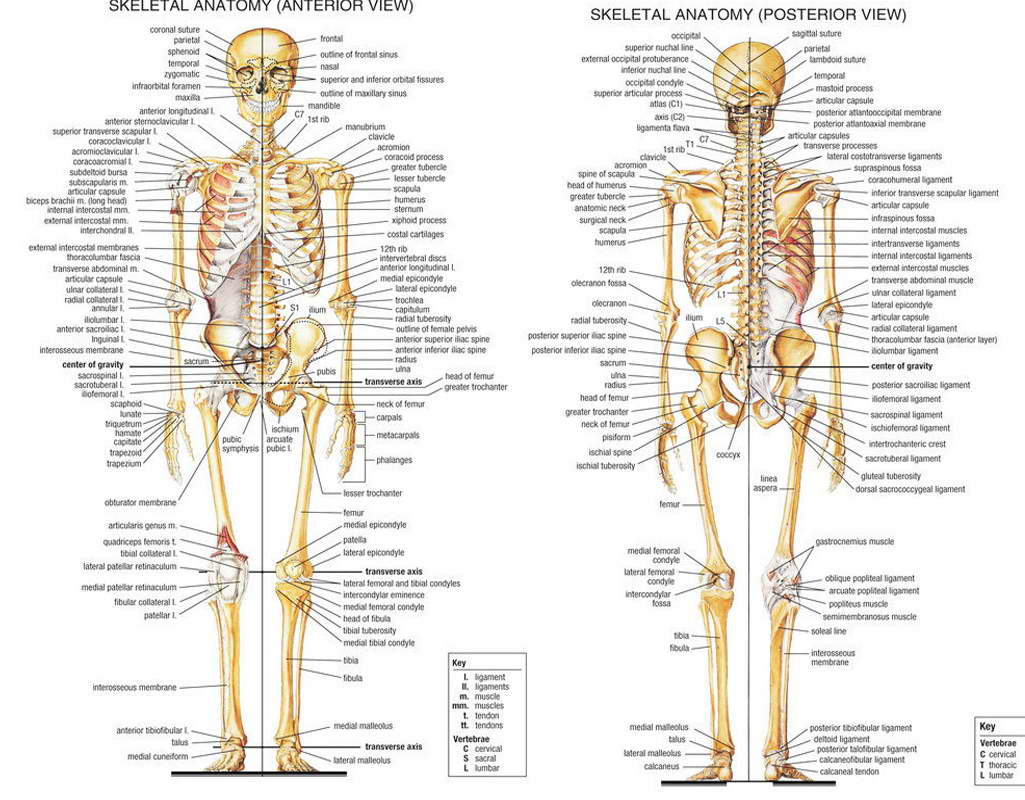 10336 Human Anatomy Skeletal System Poster Medical Education Ebay