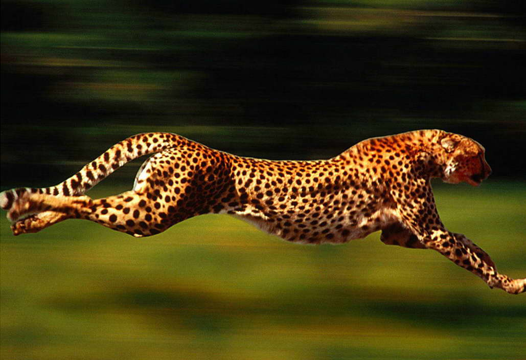 12941 Speed of Leopard Wild Animals Wall Print POSTER CA