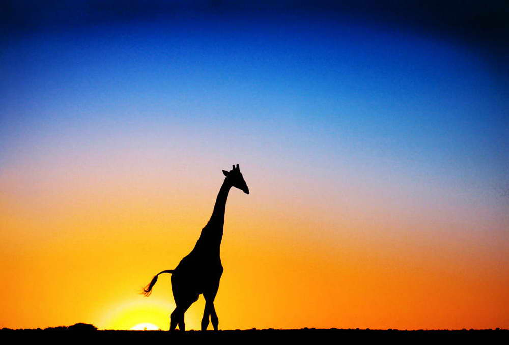 13642 Africa Sunset - Giraffe Animals Nature Art Wall Print POSTER CA