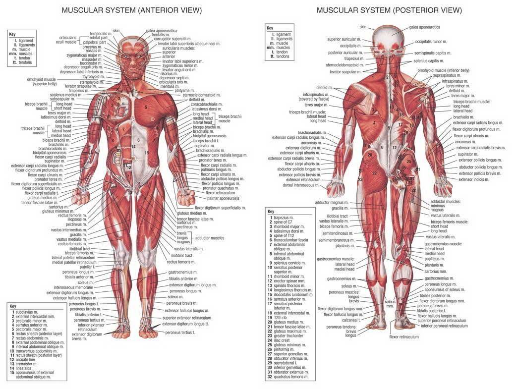 14277 Human Body Anatomical Chart Muscular System Wall Print Poster