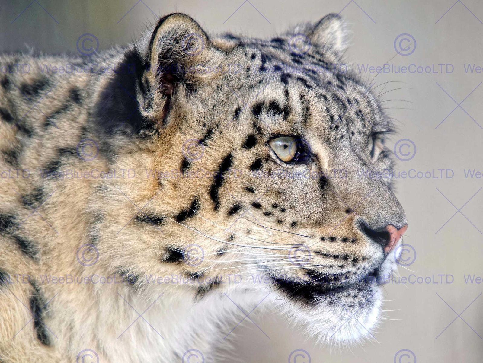 87467 SNOW LEOPARD FACE CLOSE UP BIG CAT Decor WALL PRINT POSTER CA