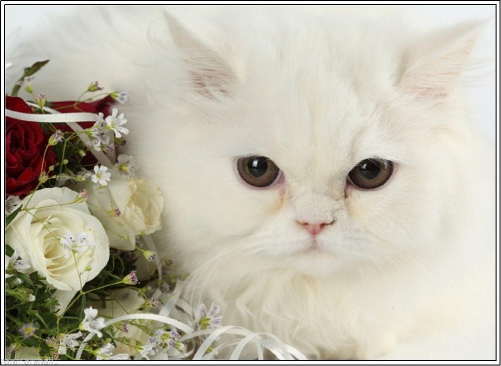98924 4 Valentine S Day White Persian Kitten Cat Decor Wall Print