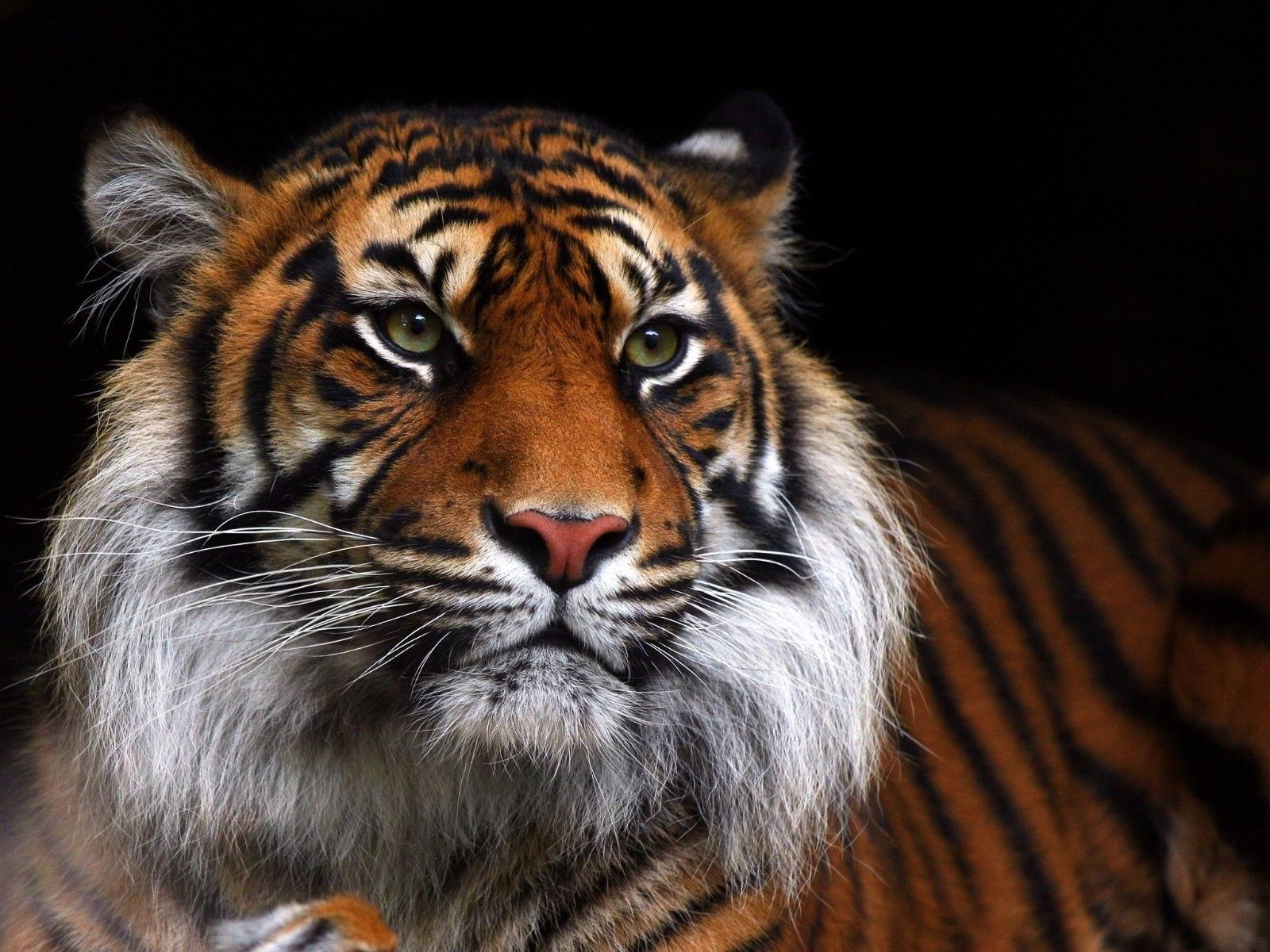127034 Tiger Wild Cat Decor WALL PRINT POSTER AU
