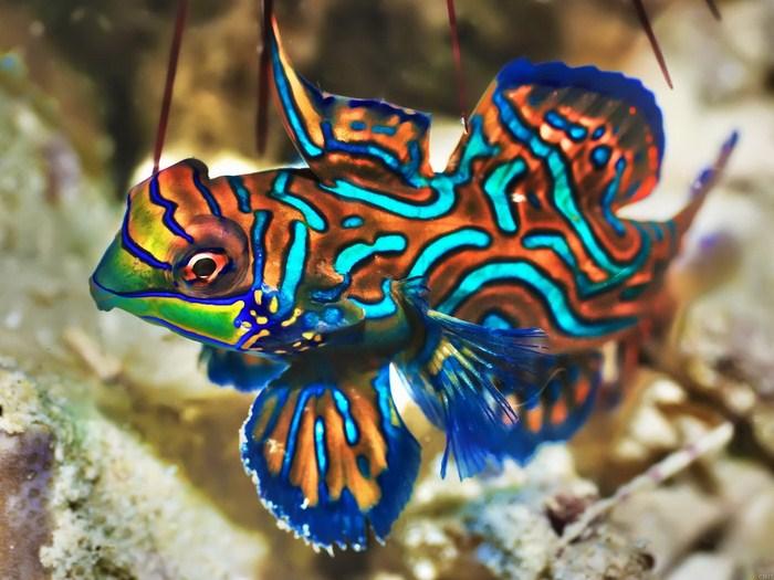 Mandarinfish Deep sea Marine Wall Print POSTER US