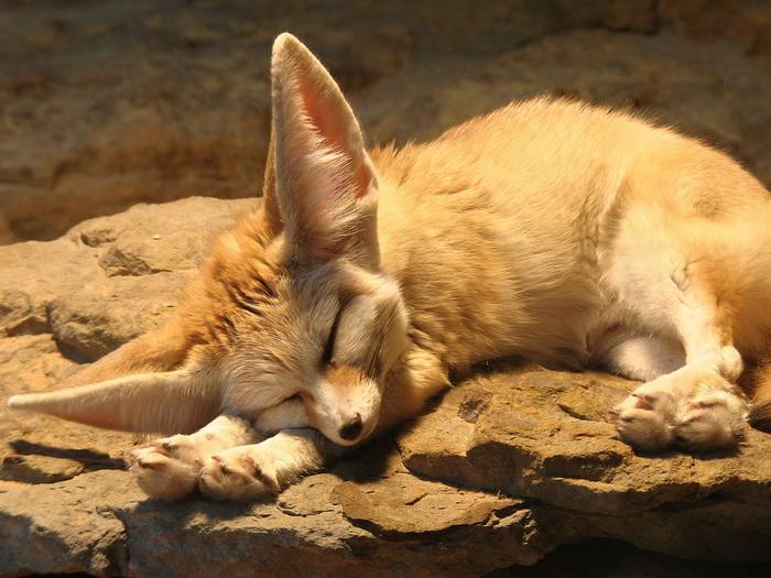 FENNEC FOX Cute Sleeping Animal Wall Print POSTER AU